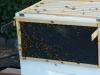 Anaheim hive, frame 1