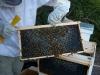 Anaheim hive, frame 3