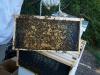 Anaheim hive, frame 5
