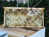 Boston hive, middle frame