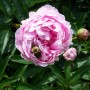 the peonies bloomed today.