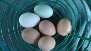 Ameraucana Egg