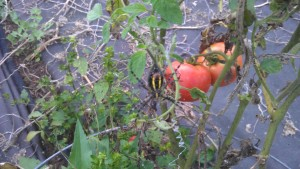 Spider guarding the tomatoes