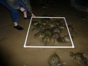 Counting horseshoe crabs