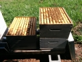 Hive 1 top supers and brood boxes